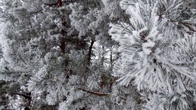 Beautiful winter landscape. Abstract pine forest background. Pines branches wallpaper. Magical nature.. Beautiful winter landscape. Abstract pine forest Royalty Free Stock Image