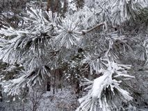Snow on the pine branch. Beautiful winter landscape. Abstract pine forest background. Pines branches wallpaper. Beautiful winter landscape. Abstract pine forest Stock Photo