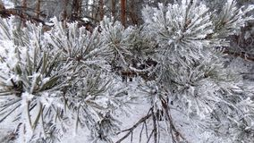 Magical snow forest. Beautiful winter landscape. Abstract pine forest background. Pines branches wallpaper. Beautiful winter landscape. Abstract pine forest Royalty Free Stock Images