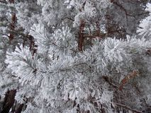 Snow on the branches. Beautiful winter landscape. Abstract pine forest background. Pines branches wallpaper. Beautiful winter landscape. Abstract pine forest Royalty Free Stock Image