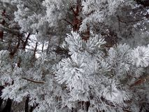 Snow on the big pine branch. Beautiful winter landscape. Abstract pine forest background. Pines branches wallpaper. Beautiful winter landscape. Abstract pine Royalty Free Stock Photo