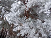 Big pine tree on the white snow. Beautiful winter landscape. Abstract pine forest background. Pines branches wallpaper. Beautiful winter landscape. Abstract pine Stock Photography