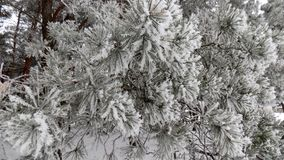 Snow background. Beautiful winter landscape. Abstract pine forest background. Pines branches wallpaper. Beautiful winter landscape. Abstract pine forest Royalty Free Stock Photography
