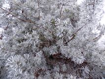 Beautiful winter landscape. Abstract pine forest background. Pines branches wallpaper. Beautiful winter landscape. Abstract pine forest background. Snow Stock Photography