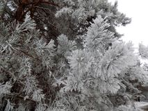 Beautiful winter landscape. Abstract pine forest background. Pines branches wallpaper. Beautiful winter landscape. Abstract pine forest background. Snow Royalty Free Stock Photos