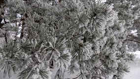 Magical white branch. Beautiful winter landscape. Abstract pine forest background. Pines branches wallpaper. Beautiful winter landscape. Abstract pine forest Royalty Free Stock Image
