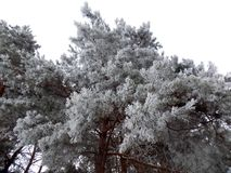 White big tree. Beautiful winter landscape. Abstract pine forest background. Pines branches wallpaper. Beautiful winter landscape. Abstract pine forest Royalty Free Stock Images
