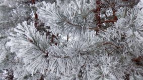 Magical branches. Beautiful winter landscape. Abstract pine forest background. Pines branches wallpaper. Beautiful winter landscape. Abstract pine forest Royalty Free Stock Photo