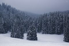 Beautiful winter landscape with blue snow-covered fir trees in t. He fog Stock Image