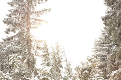 Beautiful winter landscape in the forest. Winter landscape pine forest filled with sunlight through the branches trees Royalty Free Stock Images