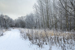 A beautiful winter landscape. Morning in the snowy woods Stock Photography