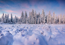Beautiful winter landscape in mountain forest. Sunrise Royalty Free Stock Image