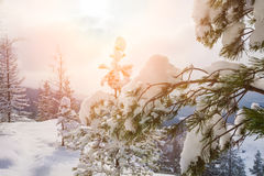 Beautiful winter landscape. With pine Royalty Free Stock Photography