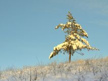 Pine snow covered Royalty Free Stock Photo