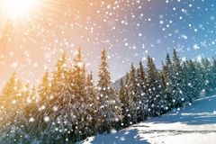 Beautiful winter landscape. Pine trees with snow and frost on mountain slope lit by bright sun rays on colorful blue sky and falli stock photos