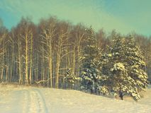 Pines snow covered Royalty Free Stock Images