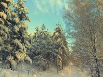 Pines snow covered Stock Photography
