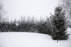Beautiful winter landscape Row of tall dark green fir trees covered with snow Snowfall in forest in cold and windy day.  stock image