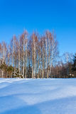 Beautiful winter landscape with snow and birches Royalty Free Stock Image