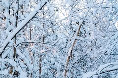 Beautiful winter landscape. Snow-covered branches of bushes in the light of sunset, can be used as a background or texture.  royalty free stock photography