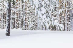 Beautiful winter landscape with snow-covered pine forest Royalty Free Stock Photos
