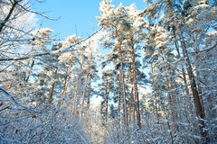 Beautiful winter landscape with snow covered trees - sunny winter day Stock Photo