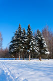 Beautiful winter landscape with snow and fir-trees Royalty Free Stock Photography