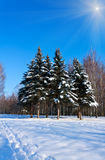 Beautiful winter landscape with snow and fir-trees Stock Image