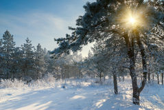Beautiful winter morning. Sun rays shine through branches, landscape Royalty Free Stock Image
