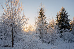 Beautiful winter morning with snow. Covered trees Royalty Free Stock Image