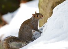 Beautiful winter nature image of a squirrel in the. An alert squirrel watches carefully while searching for food after a heavy winter snow storm Royalty Free Stock Image