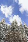 Beautiful pine trees covered in fresh snow Royalty Free Stock Photo