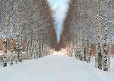 Beautiful winter road. And white winter birches Stock Photo