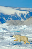 Beautiful winter scene with ice and snow. Polar bear on drift ice with snow, white animal in the nature habitat, Svalbard, Norway. Royalty Free Stock Photos