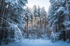 Beautiful Winter Scenery With Forest Full Of Trees Covered Snow Stock Photo