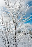 Winter snow cowered tree in mountain. Beautiful winter snow cowered and rime frosting tree on mountain slope with snowdrifts on blue sky background Carpathian Royalty Free Stock Image