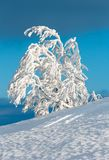 Winter snow cowered tree in mountain. Beautiful winter snow cowered and rime frosting tree on mountain slope with snowdrifts on blue sky background Carpathian Stock Photos