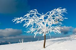 Winter snow cowered tree in mountain. Beautiful winter snow cowered and rime frosting tree on mountain slope with snowdrifts on blue sky background Carpathian Stock Photography