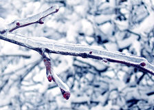 Beautiful winter snow red berries. Tree branches with red berries covered with ice in the snow winter forest Stock Photos