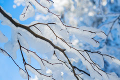 Beautiful winter snowy branches on background blue. Sky Royalty Free Stock Images
