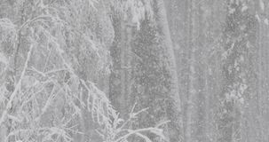 Beautiful Winter Snowy Coniferous Forest During Snowy Snowstorm Day. Pan stock footage