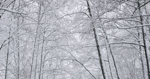 Beautiful winter snowy deciduous forest during snowy snowstorm day. Beautiful winter snowy coniferous forest during snowy snowstorm day. Pan stock footage