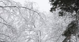Beautiful winter snowy deciduous forest during snowy snowstorm day. Branches of trees are swaying in strong wind stock footage