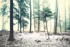 Beautiful winter snowy foggy forest landscape Royalty Free Stock Photo