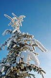 Beautiful winter spruce Stock Photography