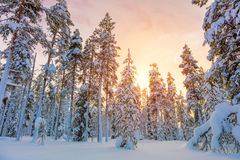 Beautiful Winter Sundown in Northern Forest Stock Photography