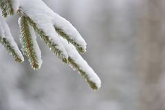 Beautiful winter tree. Close up details on pine needles brunch. Covered with snow at cold winter season Royalty Free Stock Photo