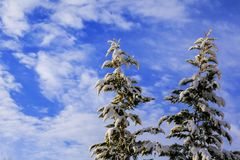 Beautiful winter landscape. View of snow-covered conifer trees at sunrise. Beautiful winter. View of snow-covered conifer trees Stock Photography