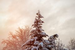 Beautiful winter landscape. View of snow-covered conifer trees at sunrise stock image