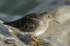 A beautiful winter visiting Purple Sandpiper, Calidris maritima, sitting on a rock at high tide, along the shoreline. Stock Photos